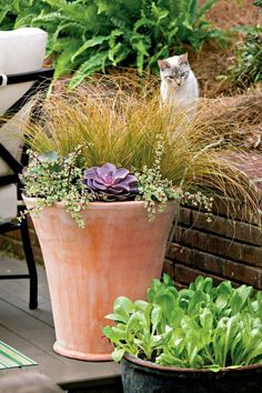 Grasses and succulents have great textural contrast. 'Amazon Mist' sedge grass combines wonderfully with creeping sedum and purple echeveria in this planting.