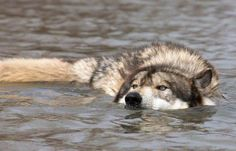 When it hot I like to go for a swim  Wolves either get in the water for sport or to get food