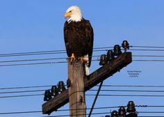 Bald Eagle Klamath Falls Oregon (birds ). Photo by quickeye
