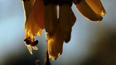 Sophora microphylla bee pollination, via Flickr.