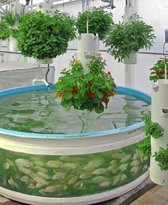 Green Sky Growers 3 - TheCoolist - The Modern Design Lifestyle Magazine Future farming with high tech aquaponics. Aquaponic system with blue tilapia and hanging plants ('The Lab' Orlando, FL) Green Sky Growers I love this raised pond! Future Farming: How Backyard Aquaponics, Aquaponics Fish, Fish Farming, Hydroponic Gardening, Organic Gardening, Vertical Farming, Indoor Gardening, Tilapia Farming, Homemade Hydroponics