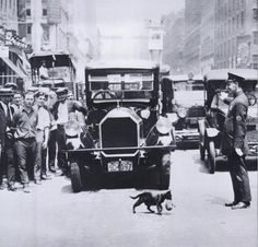 A cat carrying her kitten across the street stopping NYC traffic, July 29, 1925.  vintage photograph.