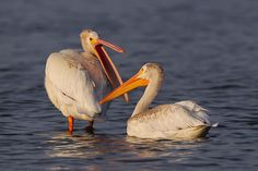 American White Pelicans Colorado