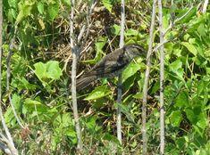 Bird Photos, Birding Sites, Bird Information: POLYNESIAN TRILLER, NABILA BEACH AREA, VITI LEVU,...