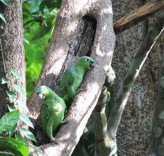 Amazzone farinosa - Mealy Amazon - Amazona farinosa