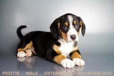 … Entlebucher Mountain Dog at Petland Independence … … Entlebucher Mountain Dog at Petland Independence … . Entlebucher Mountain Dog at Petland Independence . Puppies For Sale, Cute Puppies, Cute Dogs, Dogs And Puppies, Doggies, Entlebucher Mountain Dog, Swiss Mountain Dogs, Best Wordpress Themes, Dog Pictures