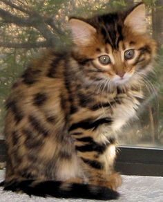 long haired bengal beauty (Is this a cross between a persian& a bengal-or?)