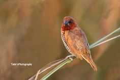 Scaly-breasted Munia by Tahir Abbas on 500px