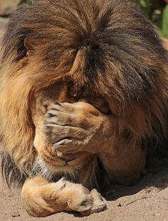 hahahhaa your face when you see someone do something you know they'll regret later on. Beautiful Lion, Animals Beautiful, Lion Tigre, Animals And Pets, Cute Animals, Lion Wallpaper, Lion Pictures, Alien Art, Cat Memes