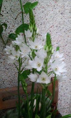 Wonder flower, Chincherinchee。