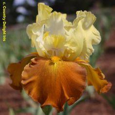 "'Fall Fiesta' ( Schreiner, R. 1992). Sdlg. T 1066-B. TB, 36"" (91 cm), Midseason late bloom. Standards white (RHS 158D); Falls ruffled honey tan (164A); beards yellow. H 766-A: (D 1132-D: (Y 1883-BB x 'Golden Plunder') x 'Moon River') X K 870-1: ( 'Gold Trimmings' x Craig #37). Schreiner 1992."