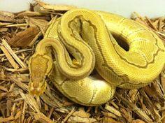Caramel Pinstripe Ball Python