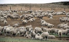 Shearing Season - Slide Show - NYTimes.com.  Rambouillet Merino sheep, yet to be sheared, are seen in a pasture at Lehfeldt Land & Livestock in Lavina, Mont. It is the time of year when sheep are sheared for their coats.