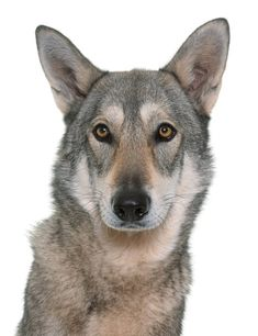 It's a wolf dog. A dog that looks like a wolf. It's a pretty new breed, probably created by fantasy literature fans who knew that the world would one day demand dogs that look like direwolves. Wolfdog Hybrid, Largest Wolf, Dog Breeds List, Dog Information, Wolf Spirit, Working Dogs, Long Legs, Large Dogs, Animal Drawings