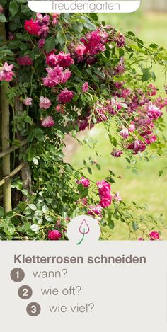 Kletterrosen schneiden Climbing climbing roses: with the right cut climbing roses grow lush and carr Container Gardening Vegetables, Planting Vegetables, Garden Care, Growing Roses, Growing Plants, Potager Bio, Garden Fire Pit, Pot Jardin, Organic Roses