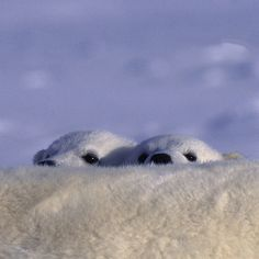On #Ellesmere Island, #Nunavut, four-month-old #polarbear cubs peek over their mother's back. For two to three years they will rely on her for food and protection against large male bears and the elements - another shot from my new book, Bear: Spirit of the Wild. **We'll be doing another draw for a signed copy of Bear on December 25th. Merry Christmas! All you need to do is be a follower of my Instagram feed to be entered. Tell your friends and good luck!