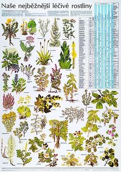 Naše nejběžnější léčivé rostliny - nástěnná tabule ( 67x96 cm ) | ALBRA - Prodej a distribuce učebnic