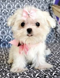 This Maltese is precious! Makes me miss Gizmo!