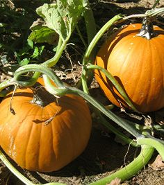 How much do you know about pumpkins? Test your knowledge!
