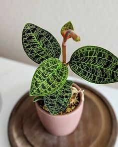 House plants indoor - Plants This weirdplantwednesday we're entranced by the macodespetola, also known as the jewel orchid because of its unique leaves🌱 it has veins… – House plants indoor Weird Plants, Rare Plants, Cool Plants, Cactus Plants, Mini Plants, Unique Plants, Orchid Plants, Cactus Art, Small Plants