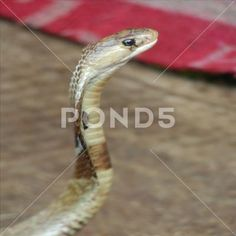 Closeup of Snake Face Stock Photos , Photography Backdrop Stand, Face Photo, Close Up, Backdrops, Snake, Clip Art, Stock Photos, Business