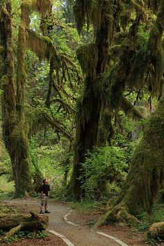 Hall of Mosses, Hoh Rain Forest, Olympic National Park, Washington, United States