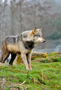 Motomo   Northwestern wolf