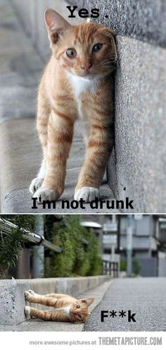 Top 10 Funny kittens im-not-drunk-cat Source Gotta love cats Source Lifelong fear of bread Source Busted Source funny cat pictures Source too Funny Animal Memes, Funny Animal Pictures, Funny Animals, Cute Animals, Funny Quotes, Animal Humor, Cute Cat Memes, Funniest Animals, Quotes Pics