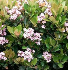 Raphiolepsis x delacourii 'Spring Time' - Indián galagonya