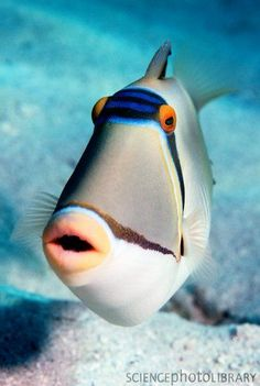 Arabian Picasso triggerfish  (Rhinecanthus assasi), the Red Sea, Egypt. ~ Georgette Douwma, Science Photo Library.