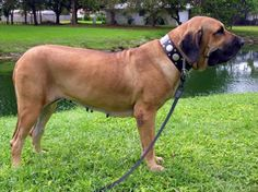 Fila Brasileiro conformation side view. Beautiful dogs, not for the novice dog owner.