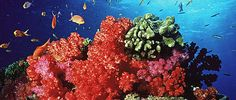 Coral Reefs are home to 25% of all marine life on the planet. In fact the variety of life supported by coral reefs rivals that of the tropical forests of the Amazon or New Guinea. But without urgent action to address climate change, pollution, overfishing and other threats these beautiful and life-sustaining organisms could disappear.