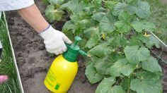 Чем подкормить огурцы для хорошего роста   удобрения