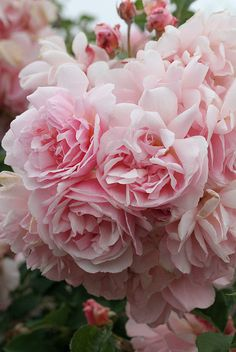 Rosa 'Felicia' | Flickr - Photo Sharing!