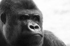Monkey Animal HD Wallpaper