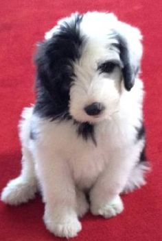Our next baby, the sheepadoodle, 75% poodle and 25% old English sheepdog.  Duke the Sheepadoodle from ACC Ranch.