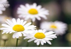 Shasta daisies... like stars that shine and grow in the garden :)