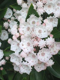 Mountain Laurel, New River Gorge, West Virginia Types Of Flowers, Love Flowers, Beautiful Flowers, Virtual Flowers, New River Gorge, Flowering Trees, Flower Photos, Lawn And Garden, Wildflowers