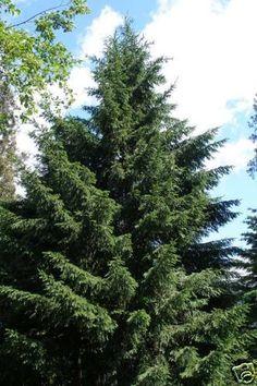 Douglas Fir Pseudotsuga menziesii Sweetly fragranced conifer. - 10 seeds