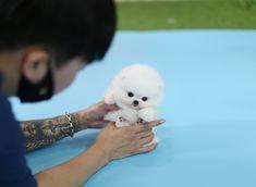 Teacup Pomeranian, Teacup Puppies, Pomeranians, Cute Animals, Teddy Bear, Colours, Pretty Animals, Cutest Animals, Pomeranian
