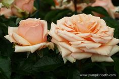 This pretty, new, apricot coloured, hybrid tea rose was bred by Harkness Roses and named Rosa 'Lynda Bellingham' in memory of the actress and entertainer.