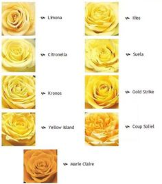 Different types of yellow roses