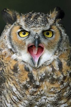 European Eagle Owl  -  Suffolk Owl Sanctuary, Stonham Aspall  UK