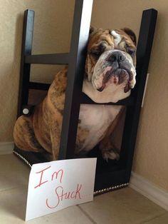 #english #bulldog #englishbulldog #bulldogs #breed #dogs #pets #animals #dog #canine #pooch #bully #doggy #funny #fun #lol