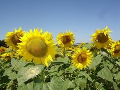 Sunflower Plants: Growing Sunflowers in Your Garden - Sunflowers are perhaps one of the easiest flowers that you can grow in the garden. For those new to gardening, this article has tips on how to add sunflowers to the garden. Growing Sunflowers, Planting Sunflowers, Giant Sunflower, Sunflower Fields, Cat Safe Plants, Full Sun Plants, Free Plants, Growing Seeds, Flowers Perennials