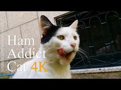 Ham addict cat (English). Gato viciado em fiambre (Portuguese). Resolution: 4k UHD 2160p. ___ Watch the youtube.com/animalsinternet video at: https://www.youtube.com/watch?v=mWt7zqJEezc&feature=youtu.be. ___ #ham #addict #cat #amazing #animal #animals #pet #pets #cute #funny #nature #omg #wtf #dude #chat #gato #meow #miau #meaou #food #delicious #yummy #4k #uhd #2160p. ___ subscribe like favorite comment follow share retweet repin email.