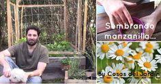Sorprendente método para sembrar manzanilla en casa