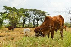 Cow in the field at the tropics ...  agriculture, animal, beef, black, blue, cattle, country, countryside, cow, curious, day, ear, eating, farm, field, flora, grass, green, head, horizon, landscape, looking, mammal, meadow, meat, milk, nature, outdoors, pasture, peaceful, photo, rural, scenery, seasonal, sky, skyline, standing, summer, sunny, thai, trees