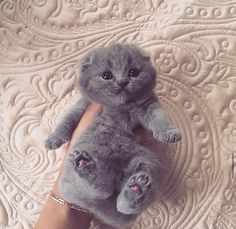 I would love to have a Scottish Fold!
