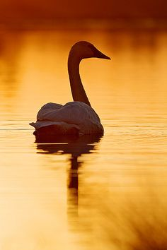 Orange Sunrise at the Wetland and Swan by BTLeventhal